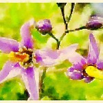 alt= belladonna homeopathy
