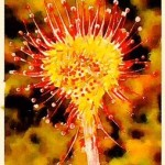 alt= drosera homeopathy cough