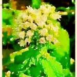 alt=homeopathy eupatorium